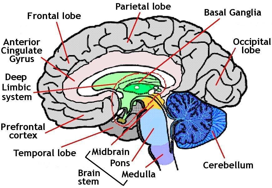 Brain Anatomy Everyone Needs to Know