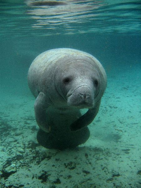 Manatees can hear low frequency...that's at least what sc ...