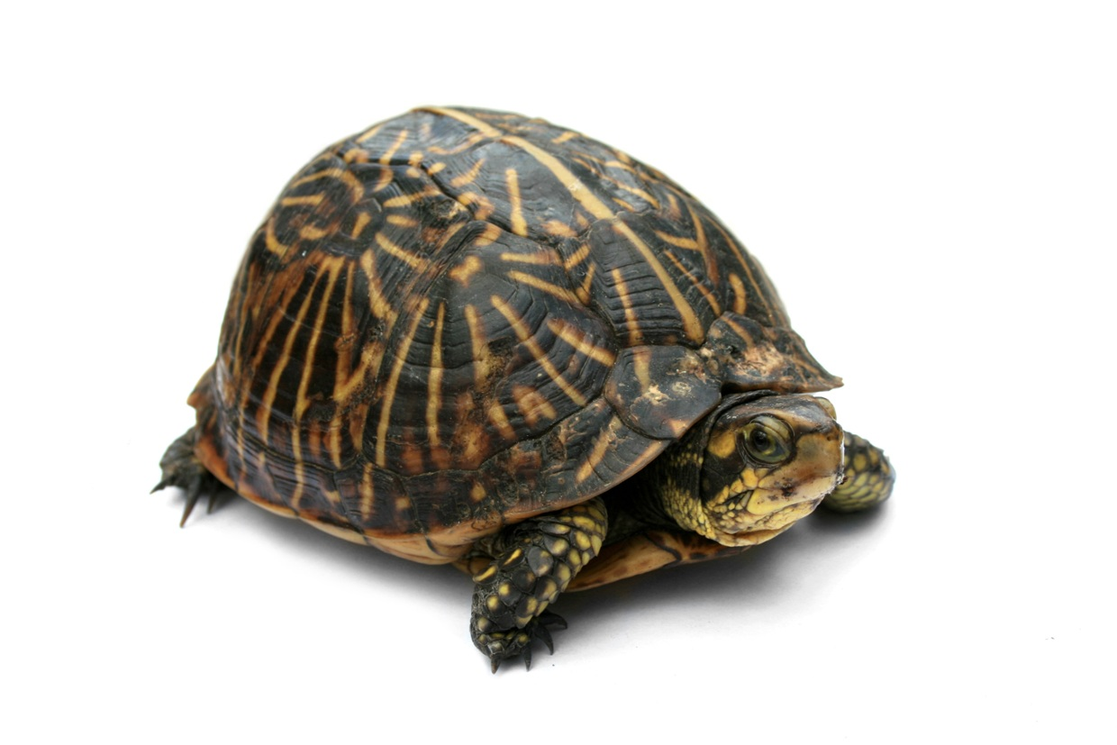 The Basic Anatomy of the Box Turtle. - ThingLink