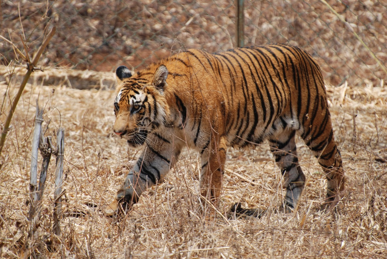 Indian Tiger Population
