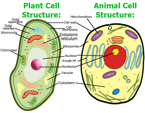 Plant and Animal Cell Structure