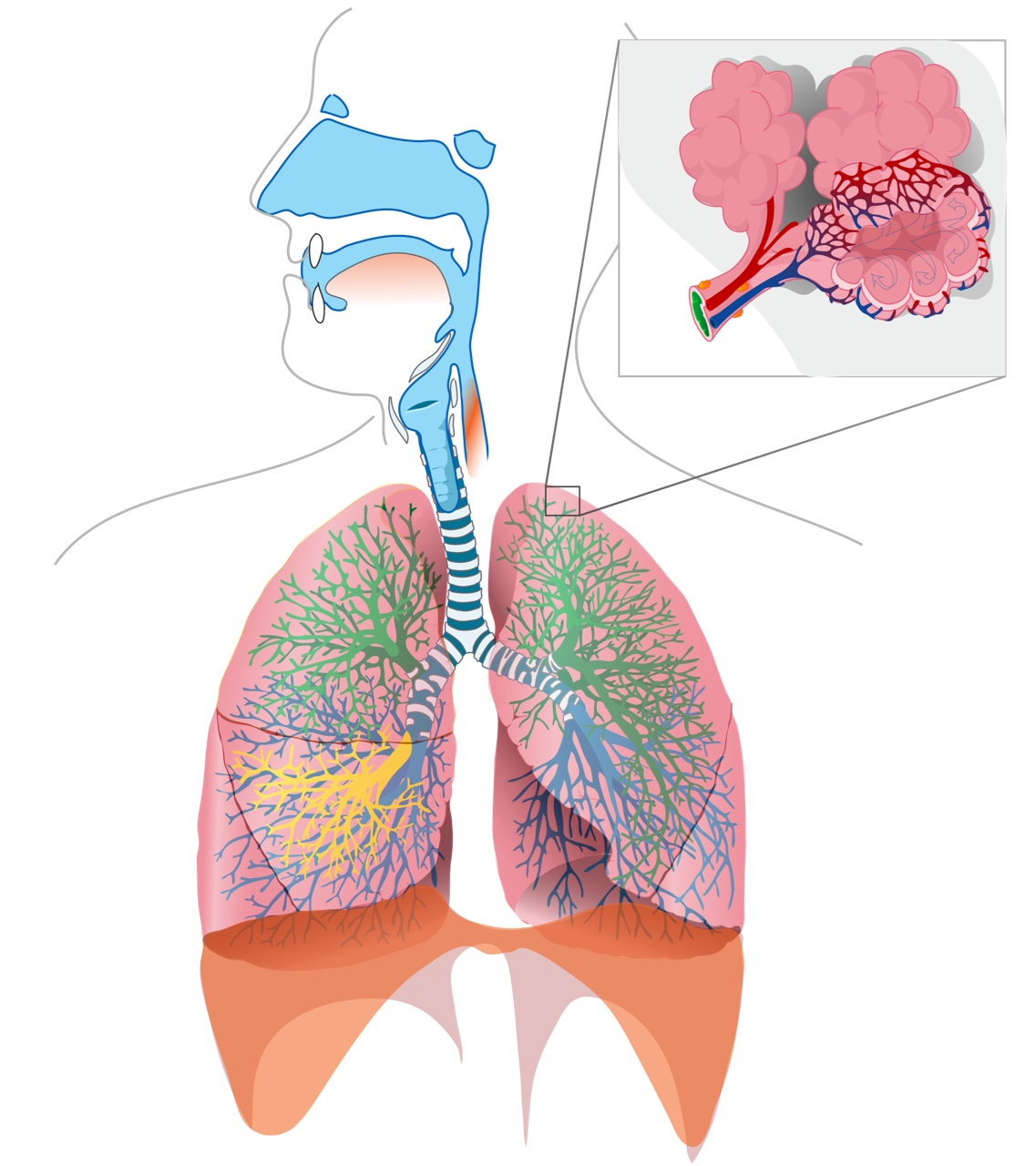 Respiratory System Parts and    Cell    Analogy