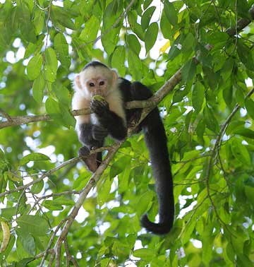 Spider Monkey Facts Thinglink
