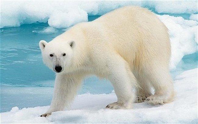 'Polar Bears' Expert Topic Example