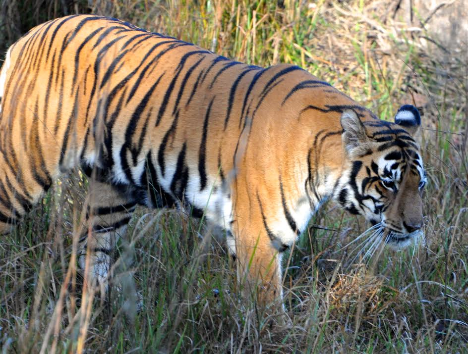 Please Save The Tiger