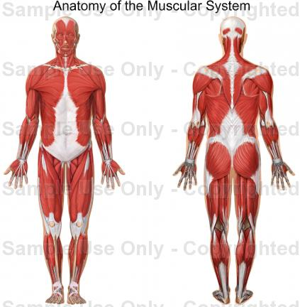 muscular system labeled back my site daottk