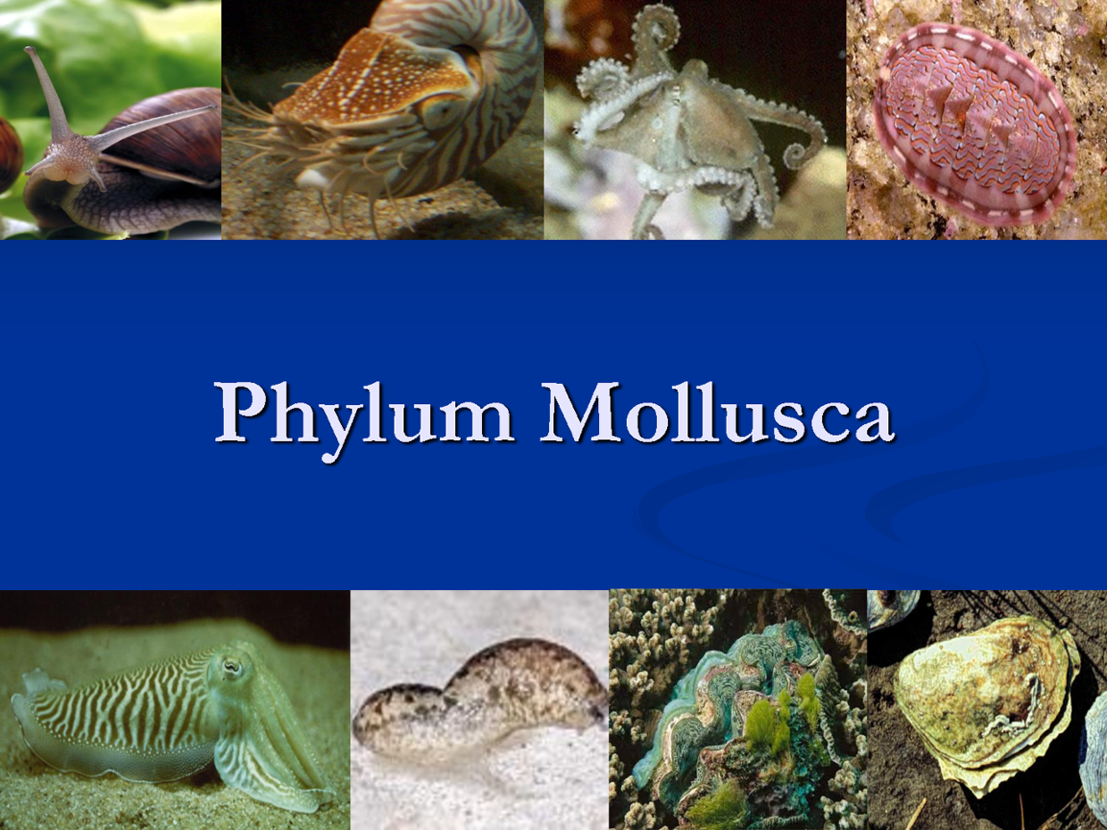 the phylum mollusca General characteristics of phylum mollusca mollusca (molluscus- soft bodies) study of mollusca is called malacology the term mollusca was first applied by aristotle.