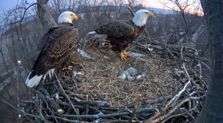 programs take first family american bald eagles nests