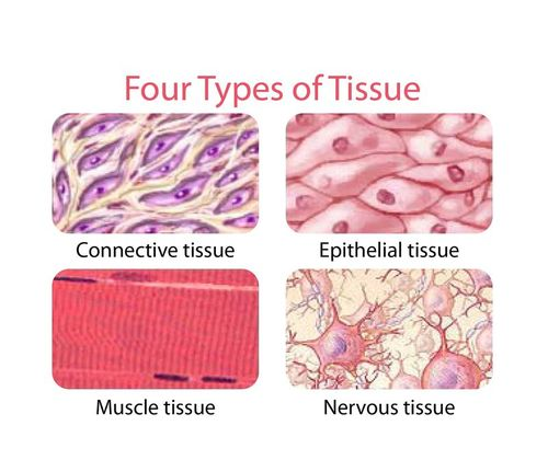 tissue types in the human body Table 1: cell renewal rates in different tissues of the human body values are  rounded to one significant digit giving context through daily life replacement.