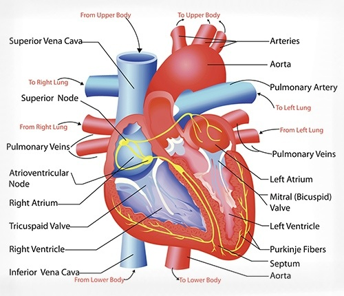 Easy Medical Terminology New Muscular System Reference: Cardiovascular System