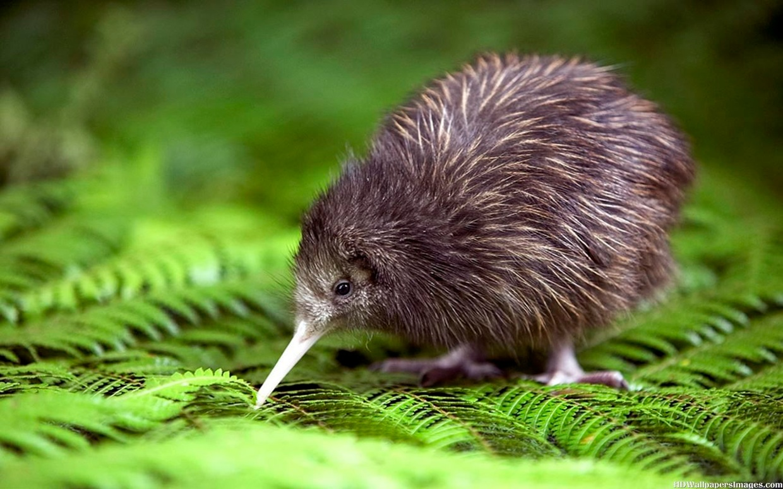 Neuseeland Kiwis