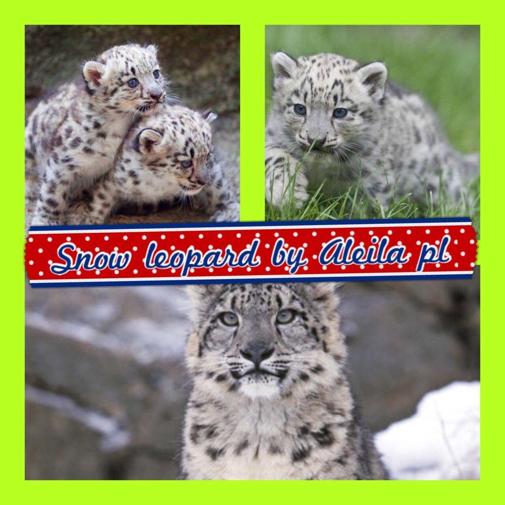 Snow leopards by Aleila Pierre-Louis - ThingLink