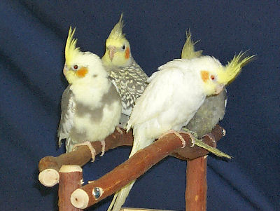 how to tell male and female cockatiels