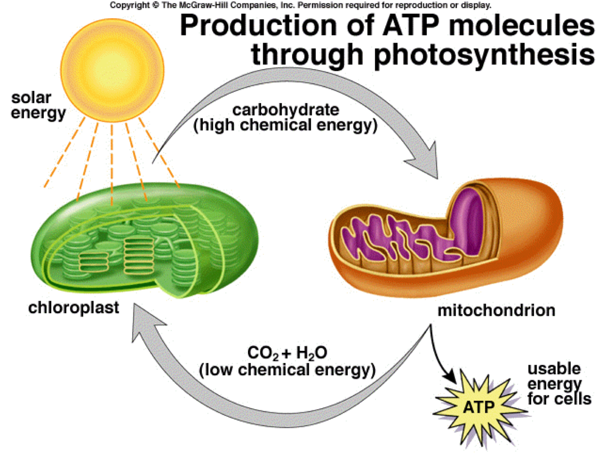 Photosynthesis and cell respiration are complementary pro ...