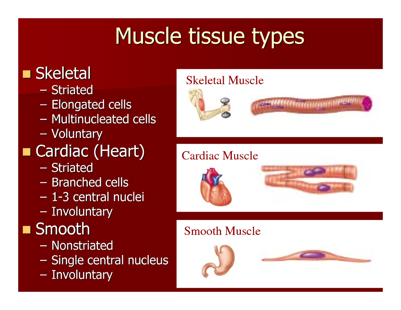Skeletal Tissue Skeletal Muscle Is The Most Abundant Tis