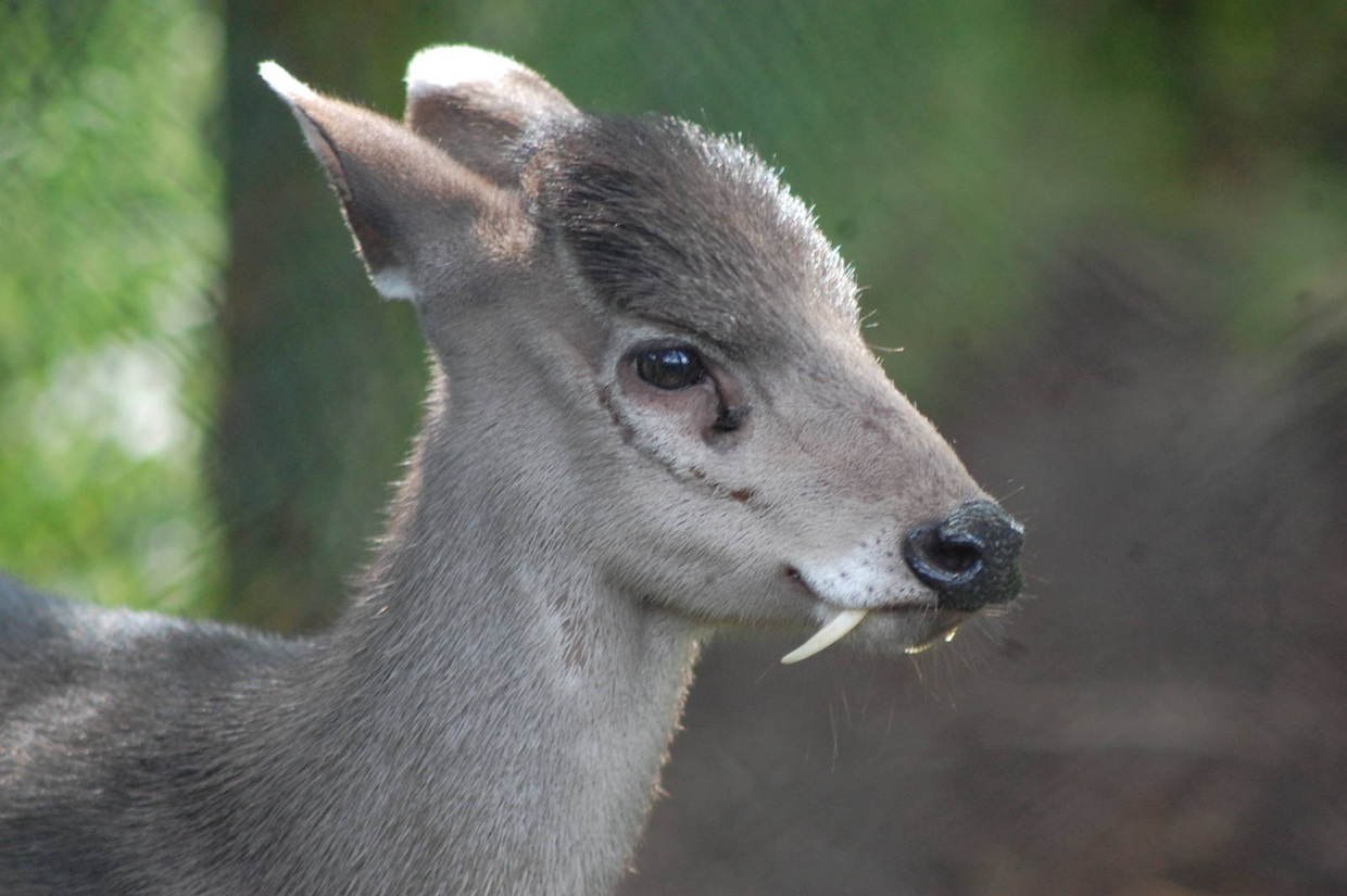 Tufted Deer Adaptation Project