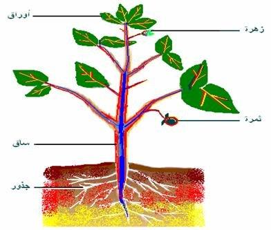 كيف ينتقل الماء في النباتات الوعائية كتاب النشاط