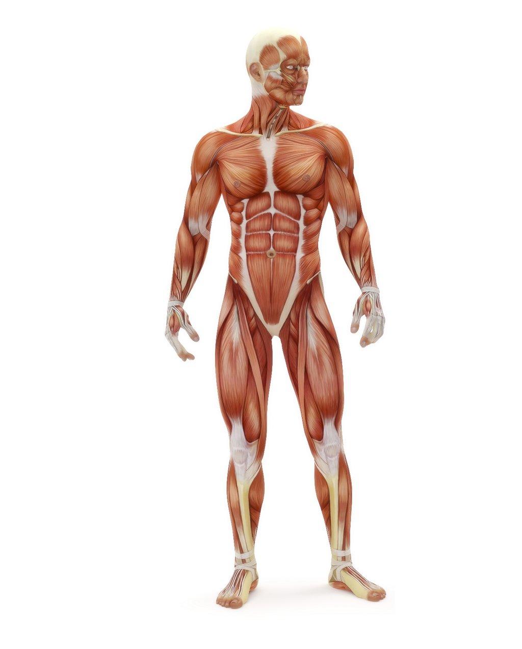 Los mejores ejercicios para cada músculo: mapa interactivo (I)