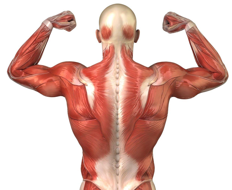 Trapezius , trapezius, triceps , triceps , deltoids , del... - ThingLink