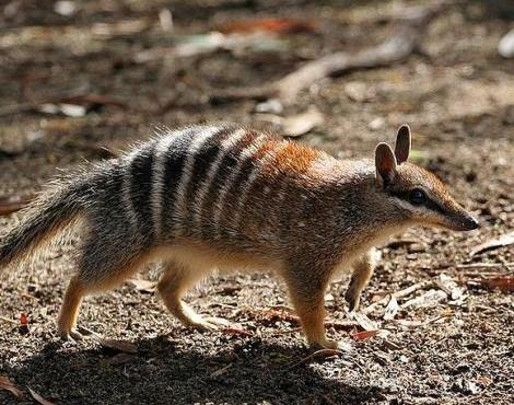 The Numbat is close to extinction