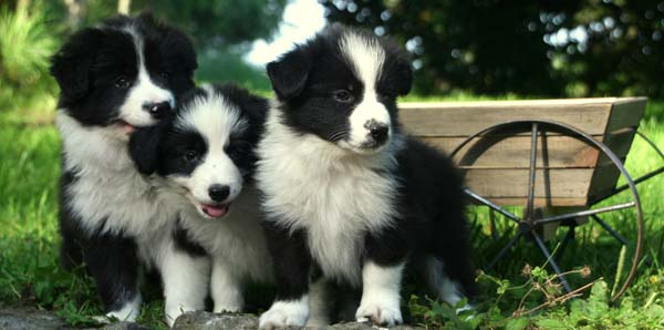 Cute Puppies Look So Warm And Fluffy They Are Smart Dogs