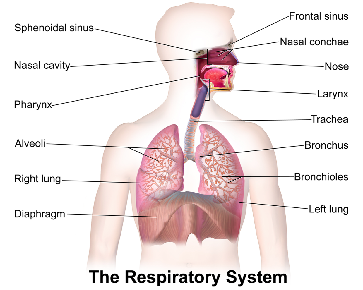 asthma disease of the respiratory system The national heart, lung and blood institute lists inflammation and narrowing of the airways in the lungs as asthma's primary effects on the respiratory system the airways in people with.