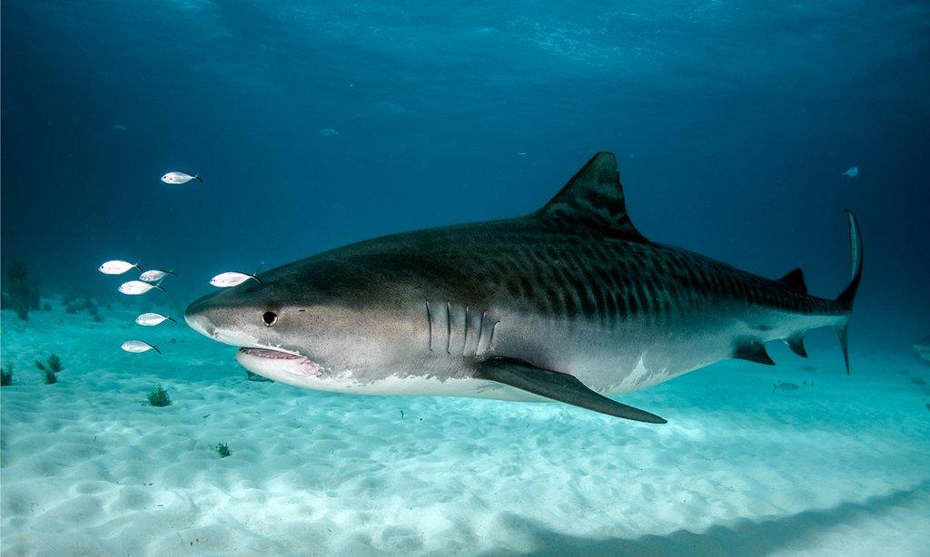 tiger shark 1280x800 - photo #35