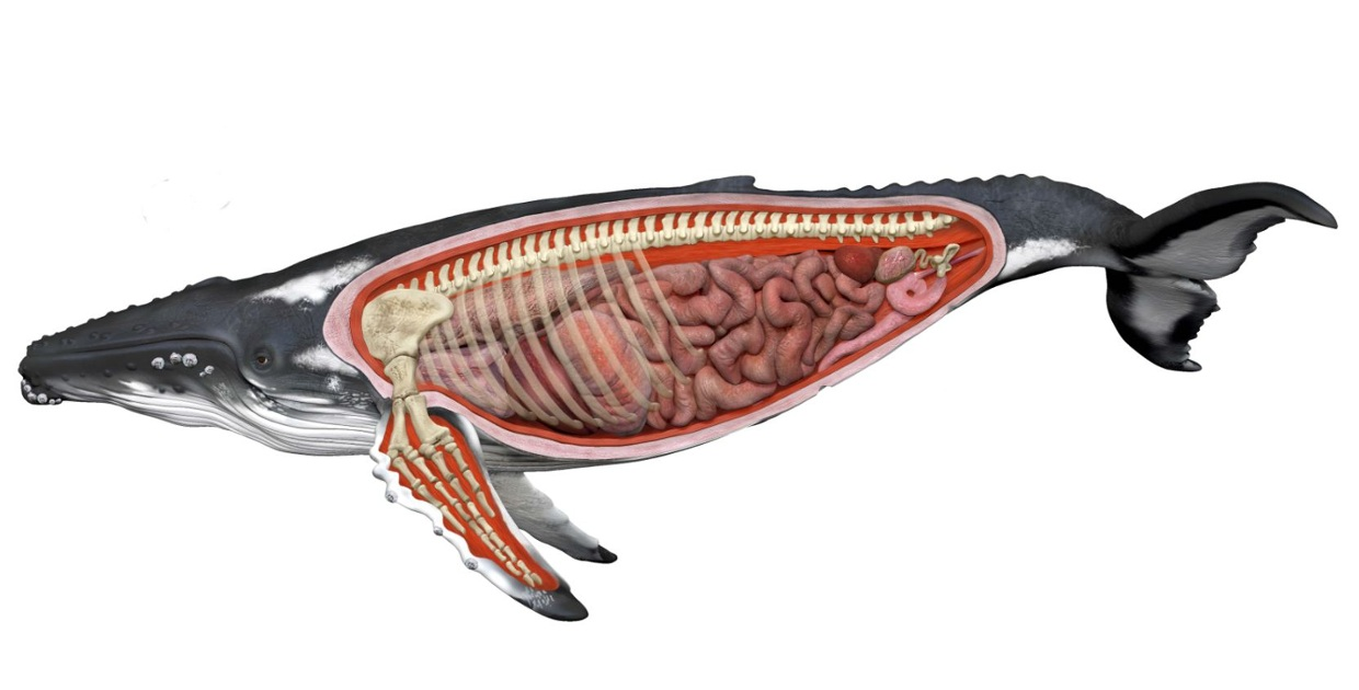 the whale anatomy.