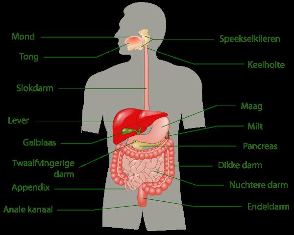 waar zit de maag in het menselijk lichaam