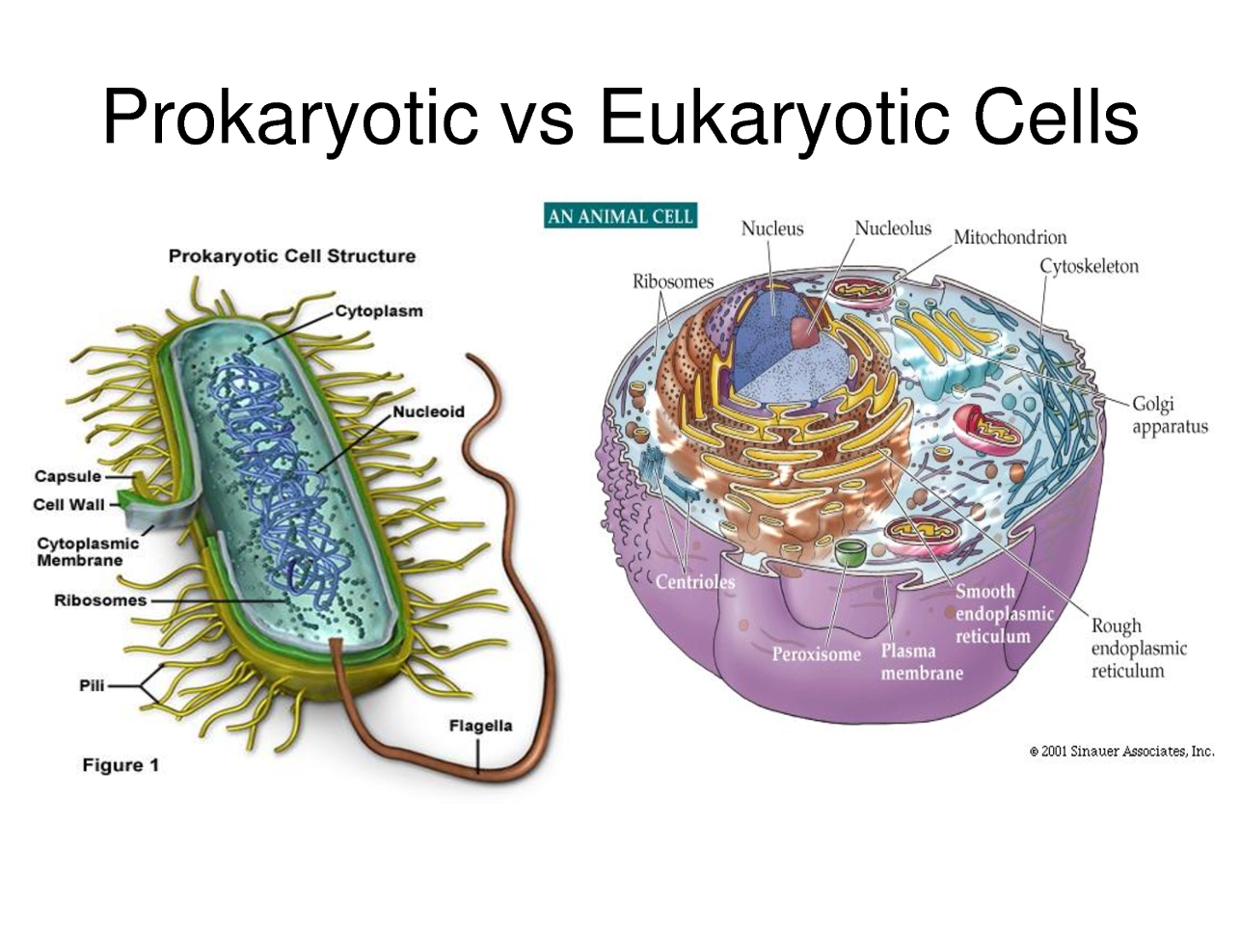 4 what types of organisms are made from eukaryotic cells Like prokaryotes, eukaryotic cells have a plasma membrane made up of a phospholipid bilayer with embedded proteins that separates the internal contents of the cell from its surrounding environment a phospholipid is a lipid molecule composed of two fatty acid chains, a glycerol backbone, and a phosphate group.
