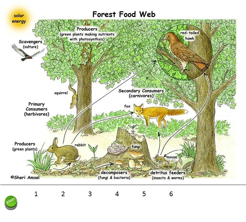 Forest Food Chains Student Project