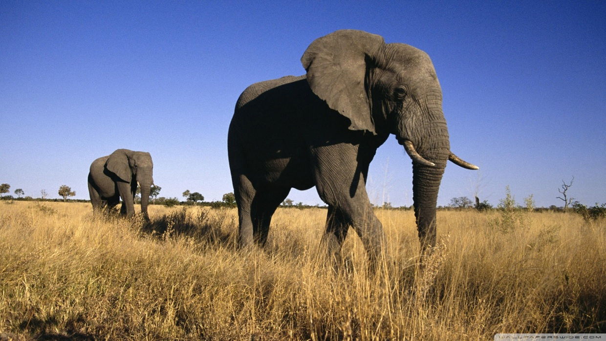 African Elephant Behavioral Adaptations Thinglink