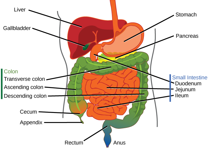 Copy of the digestive system thinglink copy of the digestive system ccuart Image collections