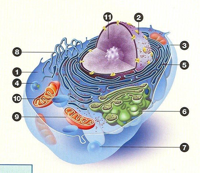La Cellule Animale