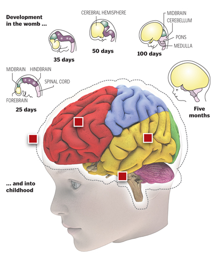Early Brain Connections Key To Reading >> Early Childhood Brain Development Sets The Stage For Learning
