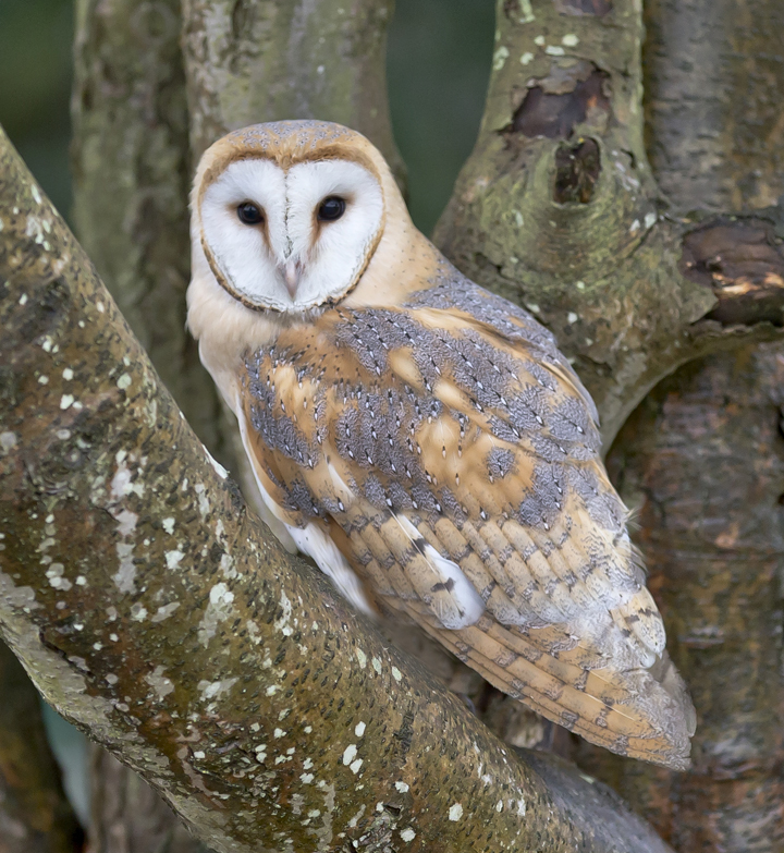 Organization: Barn owls are made out of