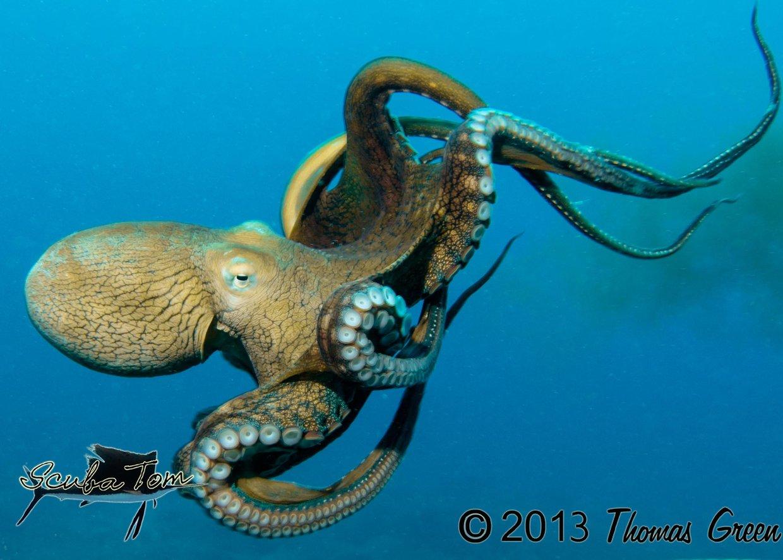 Octopus 6 characteristics of life