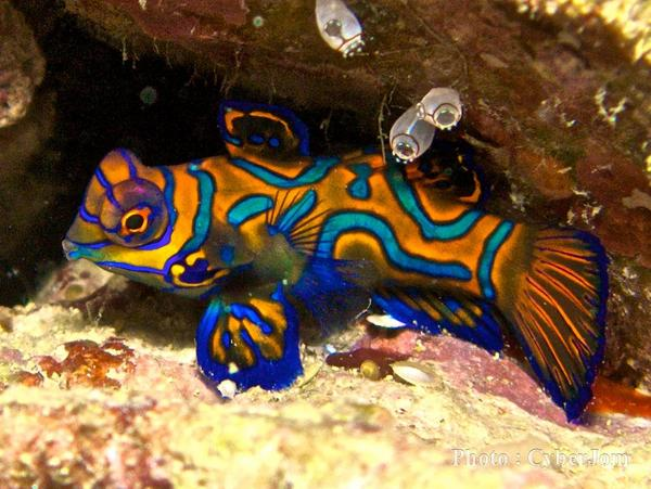 The Mandarin fish