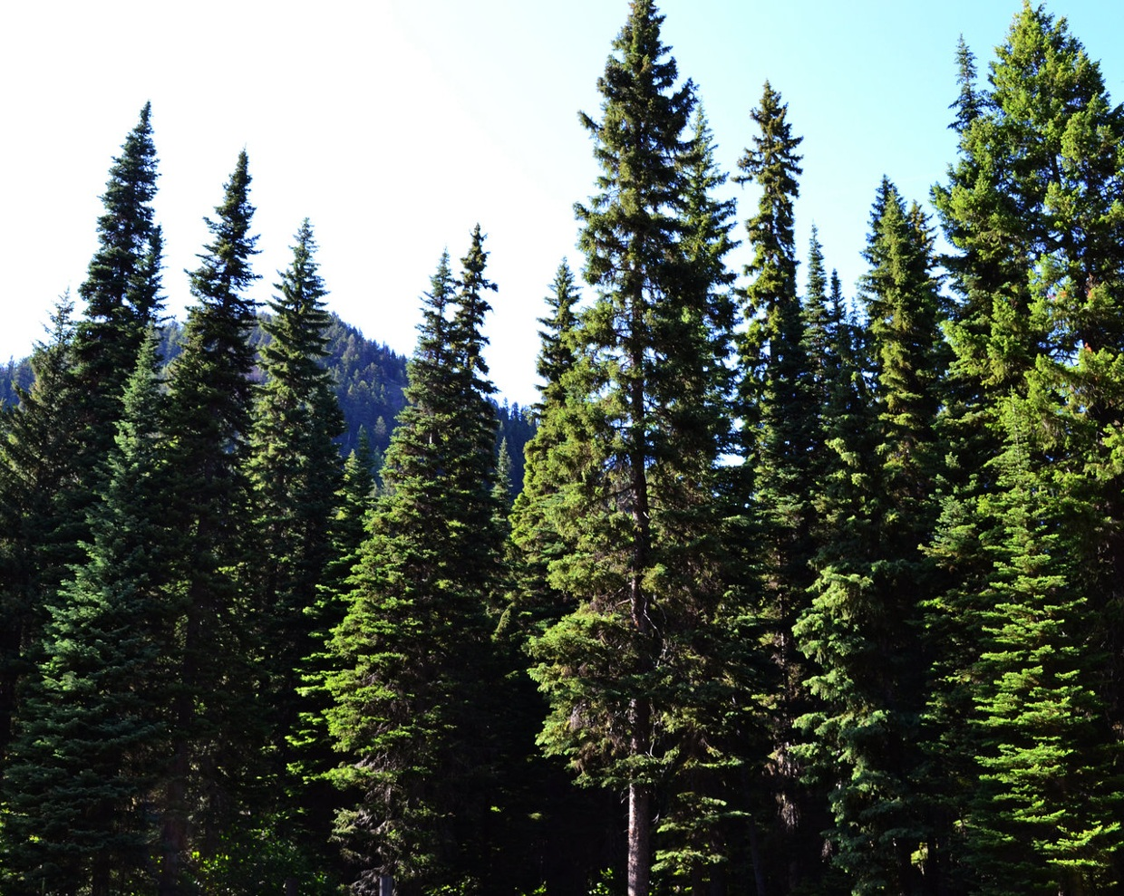 Coniferous Forest Biome Project