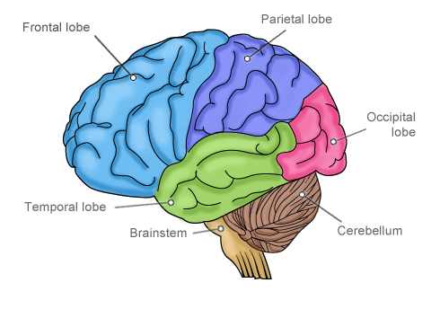 The prefrontal cortex or the frontal lobe is involved wit...