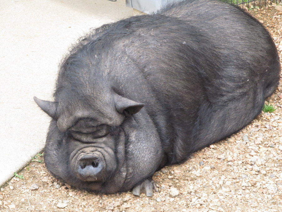 FAT PIGS ARE REALLY FAT BEWARE, THIS PIG HAS PROBLEMS