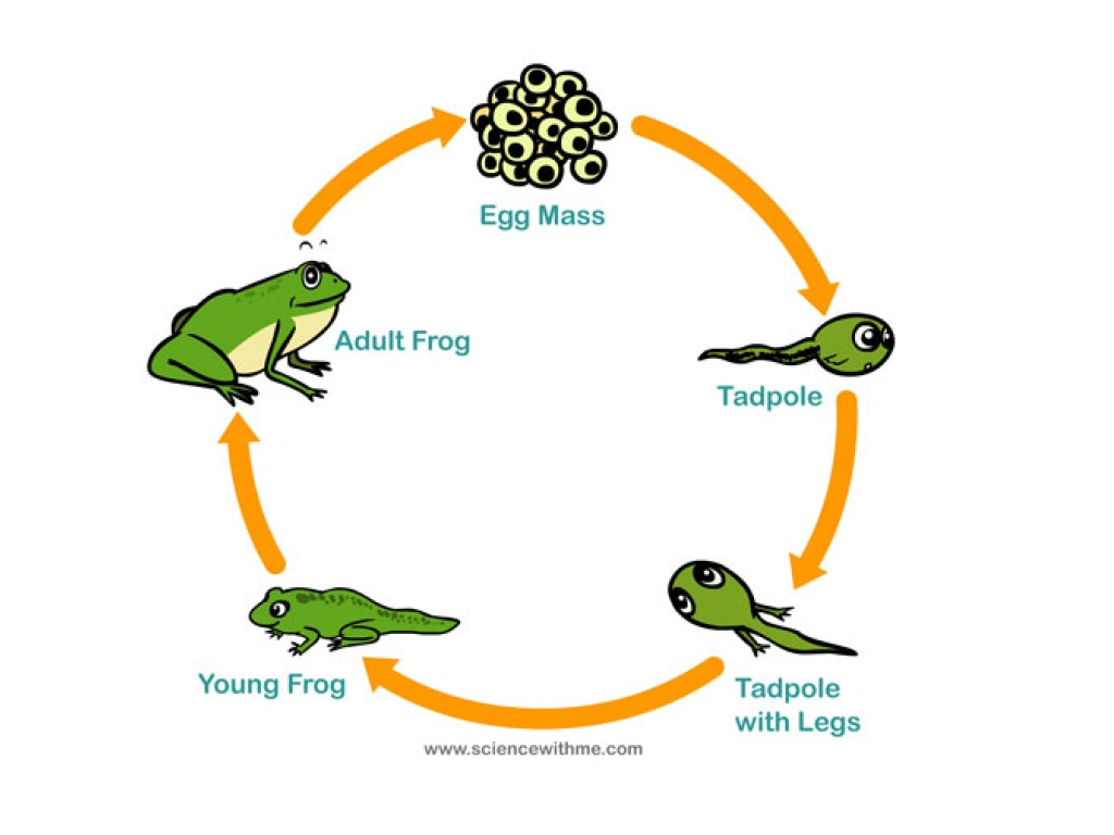 Amphibian Life Cycle Diagram Wiring Will Be A Thing Electric Circuit For Kids Thunderbolt Of Frog Lizard Stages