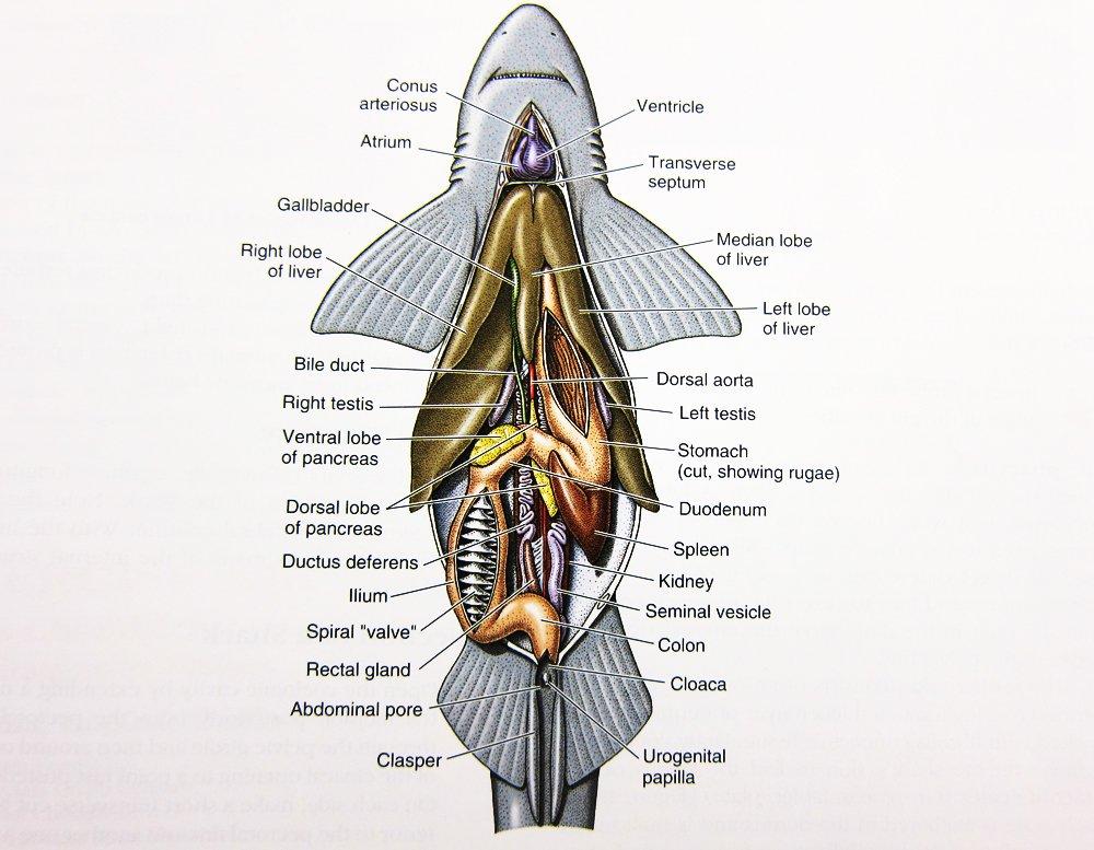 Shark Dissection!