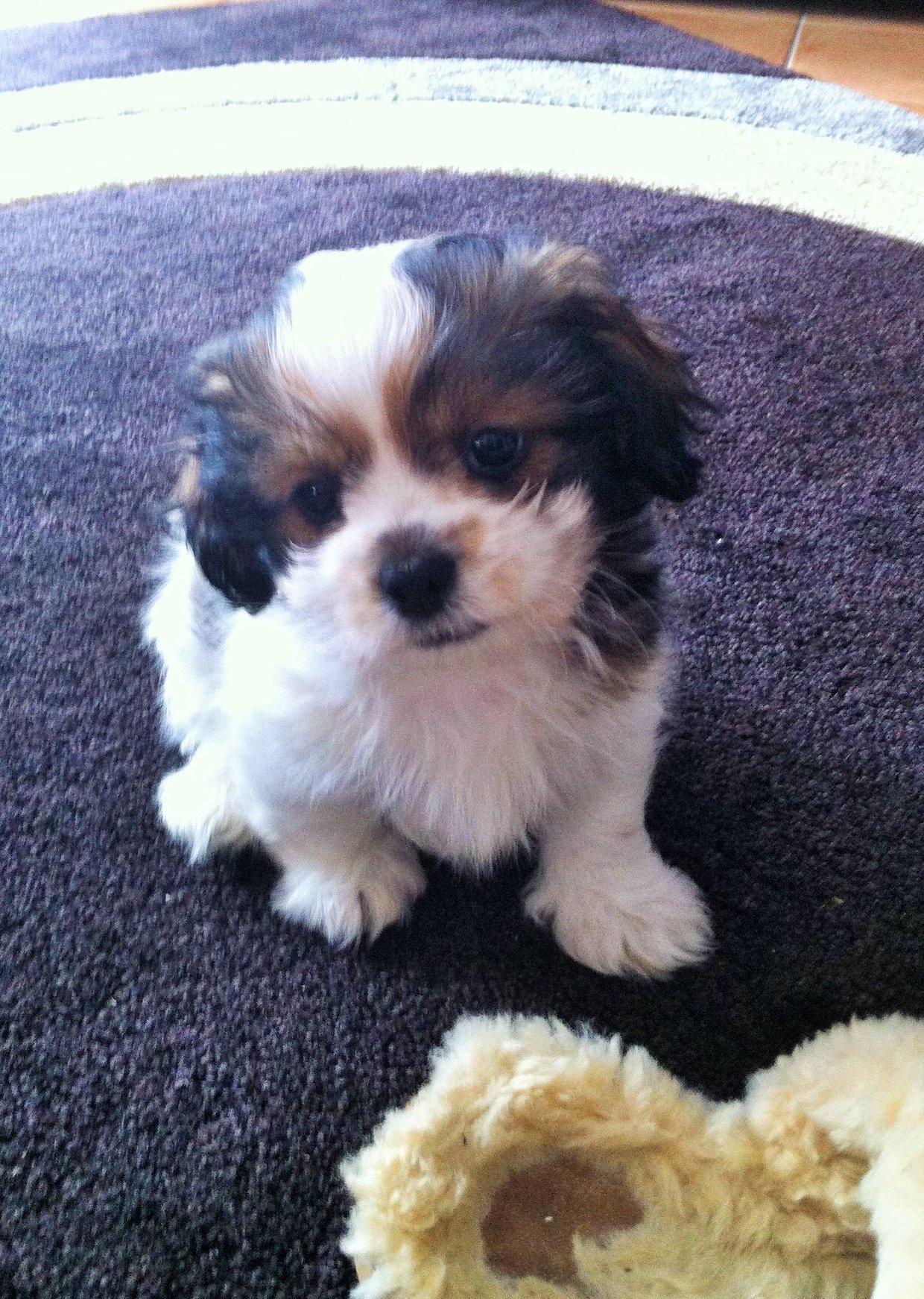 Maltese X Shih Tzu My Puppy Max