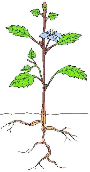 Remix of sch ma structurel d 39 une plante thinglink - Quelle plante dans une jarre ...