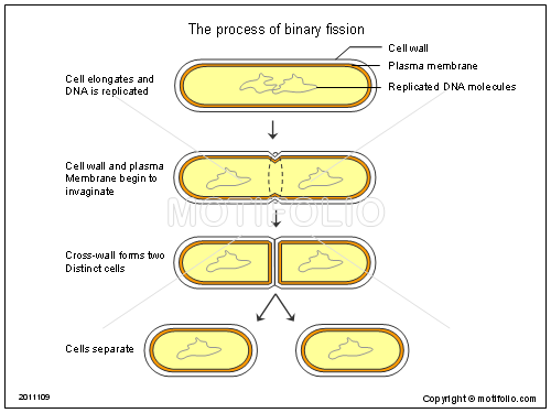 what is binary fission The usual method of prokaryote cell division is termed binary fission the prokaryotic chromosome is a single dna molecule that first replicates, then attaches each copy to a different part of the cell membrane.