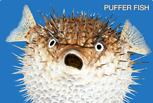 Puffer fish thinglink for Puffer fish diet