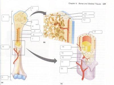 spongy bone compact bone articular cartilage endosteum thinglink. Black Bedroom Furniture Sets. Home Design Ideas