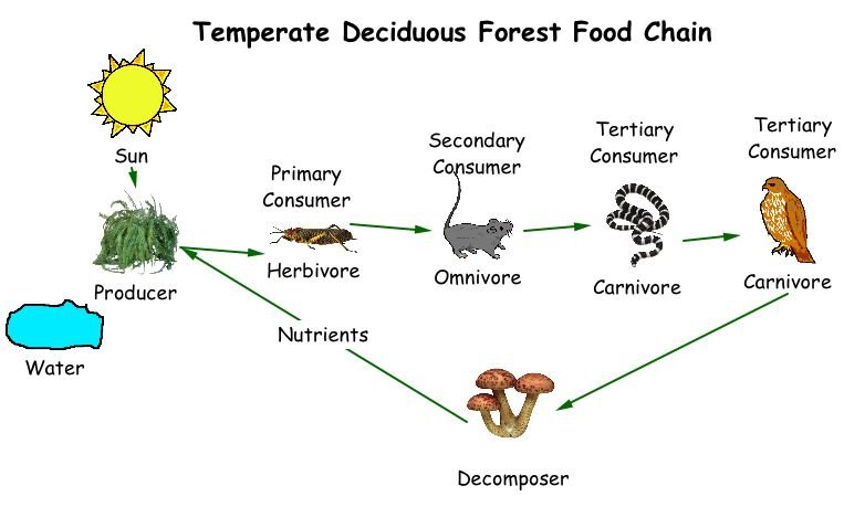 deciduous forest food chain chart describing the relationship between producers consumers decomposers diagram the david gilmour black strat wiring diagram #7