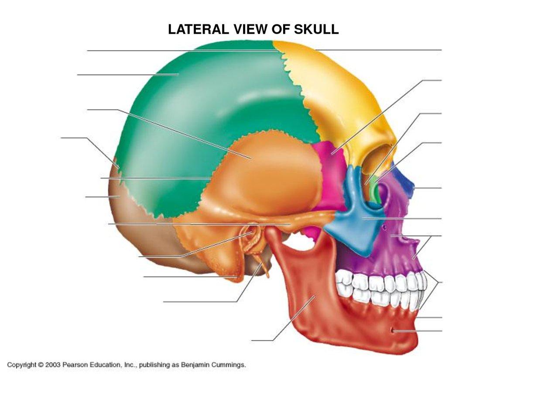 frontal bone, sphenoid bone, ethmoid bone, lacrimal bone, Human Body